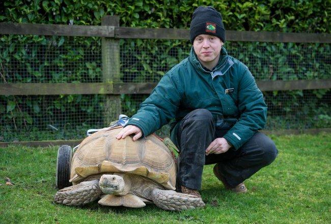 Bị liệt vì giao phối quá độ, chú rùa được lắp thêm bánh xe di chuyển cho dễ dàng - ảnh 3
