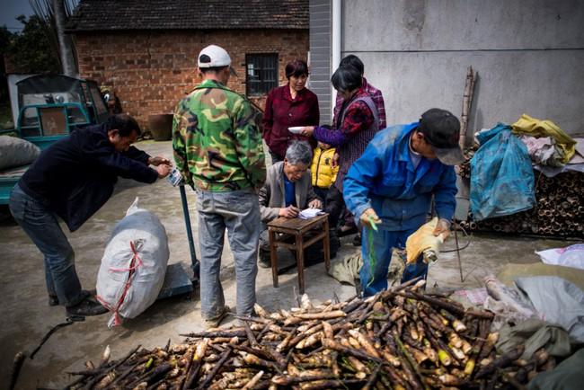 Rộn ràng mùa thu hoạch măng tươi ở Chiết Giang - Ảnh 9.
