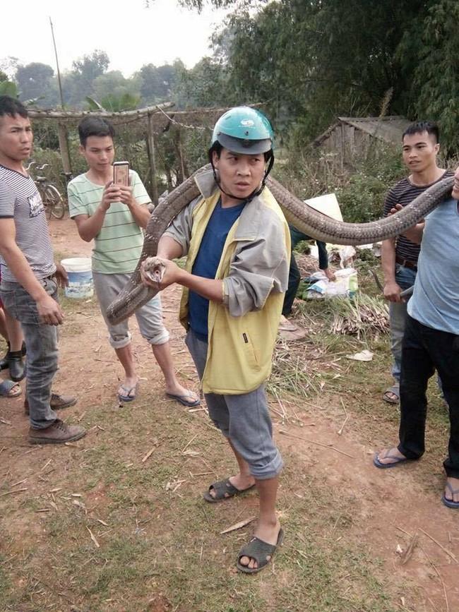 Phú Thọ: Người dân bắt sống rắn hổ mang chúa nặng 14kg bò ngoài đường - Ảnh 1.
