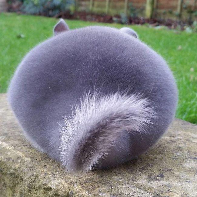 Phát hiện loài sóc đáng yêu có cặp mông căng tròn như đồ giả - Ảnh 1.