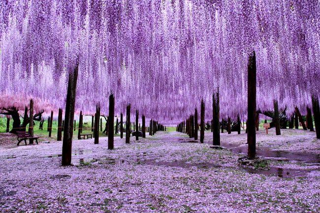Ghé thăm xứ sở hoa tử đằng mộng mơ và nên thơ ở Nhật Bản - Ảnh 1.