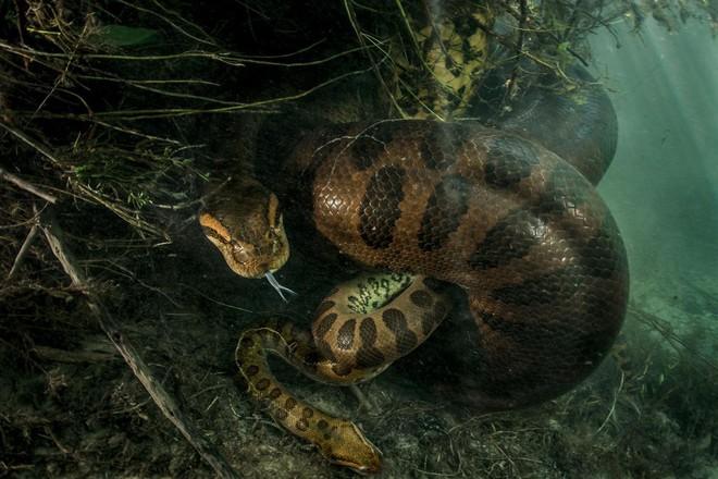 Nói đến trăn Anaconda ai cũng sợ nhưng ẩn sau bức hình này là sự thật mà ai nghe cũng dựng tóc gáy - Ảnh 1.