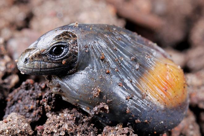 Lần đầu tiên quan sát loài thằn lằn tiến hóa ngược cực hiếm trong thế giới tự nhiên - ảnh 2