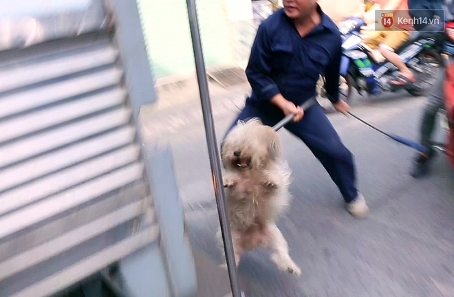 Do chủ thả rông, không xích và rọ mõm chó nên Đội săn bắt đành lôi Bo lên xe chuyên dụng.