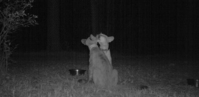 Đặt máy quay lén động vật, thợ săn bất ngờ khi thấy những hành vi kỳ lạ của chúng - Ảnh 11.