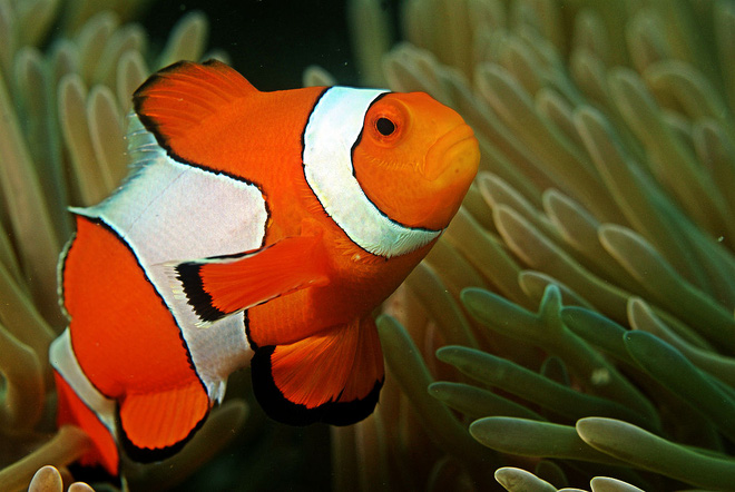 Sự thật về Finding Nemo: Cá bố Marlin sẽ chuyển giới ngay sau khi cá mẹ qua đời - Ảnh 4.