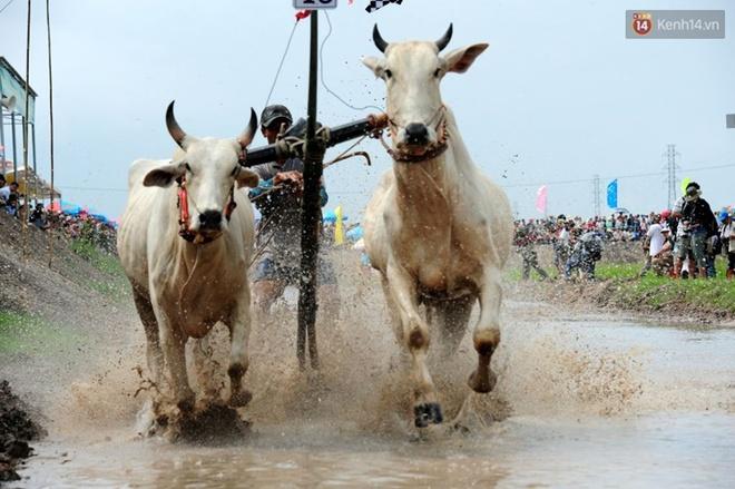 Chùm ảnh: Những pha té ngã không thương tiếc trên đường đua bò vùng Bảy Núi - Ảnh 3.