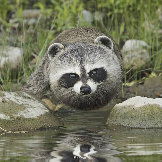 Bộ ảnh Photoshop các loài động vật trở nên tròn vo như bóng bay - Ảnh 25.