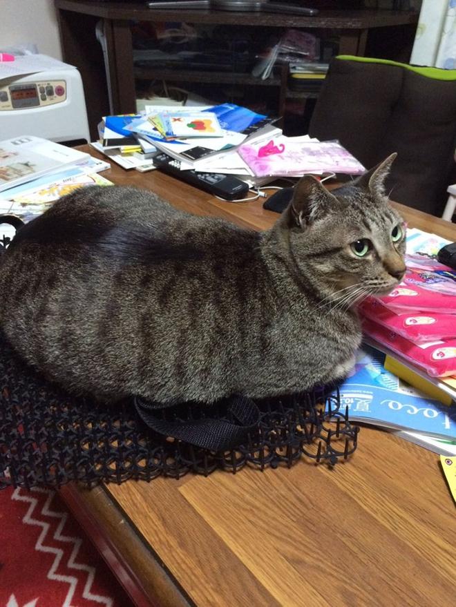Người Nhật mua bẫy gai để ngăn mèo chạy nhảy lung tung, kết quả khiến ai cũng dở khóc dở cười - Ảnh 13.