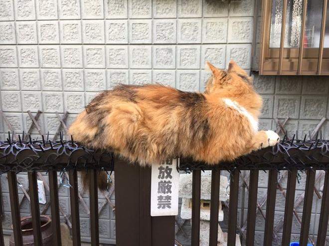Người Nhật mua bẫy gai để ngăn mèo chạy nhảy lung tung, kết quả khiến ai cũng dở khóc dở cười - Ảnh 16.
