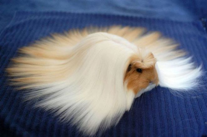 Ngắm 10 bé chuột lang sở hữu mái tóc mượt mà như quảng cáo dầu gội - Ảnh 5.