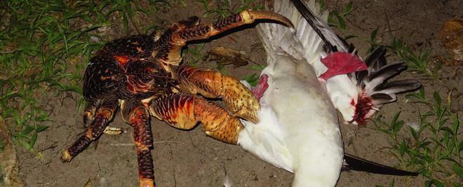 Kinh dị loài cua khổng lồ bóc dừa, bẻ chim và thống trị cả một hòn đảo - Ảnh 4.