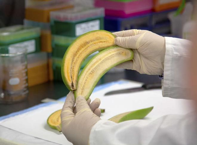 Đây là những trái chuối sẽ cứu mạng hàng trăm ngàn trẻ em trên thế giới - Nó có gì đặc biệt? - Ảnh 3.
