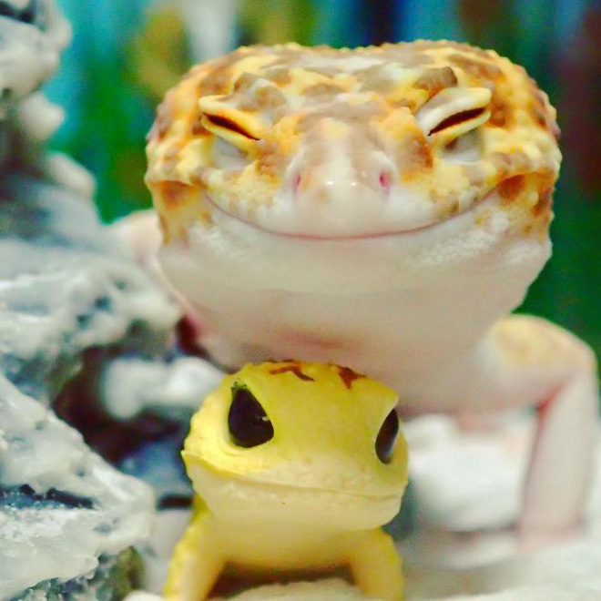 cute-happy-gecko-with-toy-kohaku-1-591e9