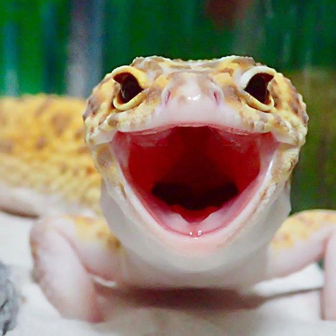 cute-happy-gecko-with-toy-kohaku-18-591e