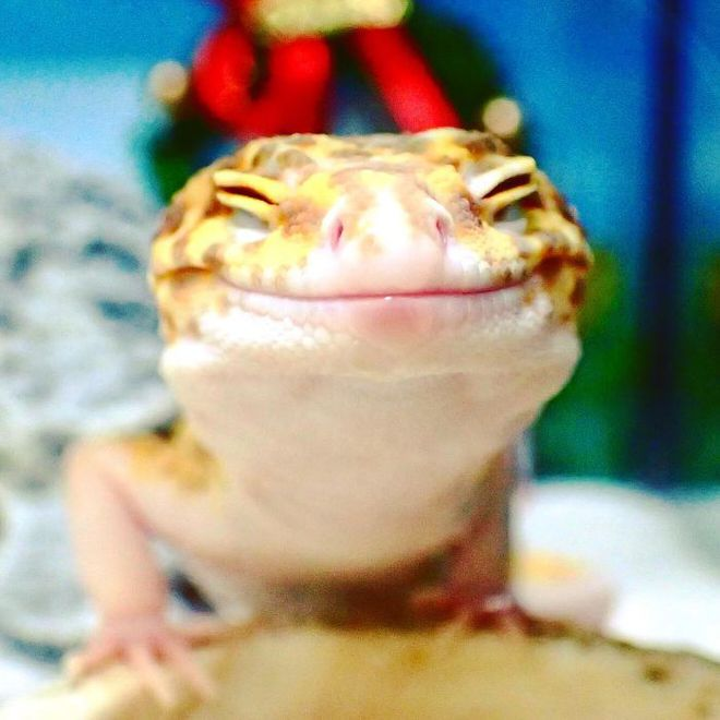 cute-happy-gecko-with-toy-kohaku-2-591e9