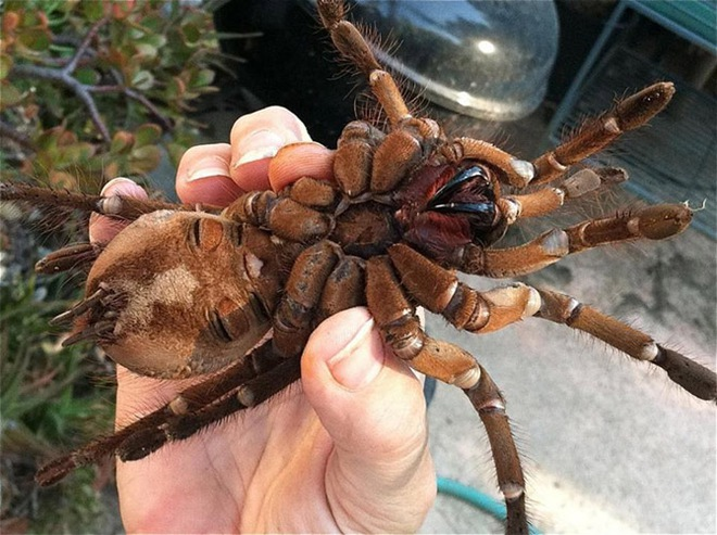Cận cảnh loài nhện lớn nhất thế giới - có thể xơi tái chuột trong chớp mắt - Ảnh 4.
