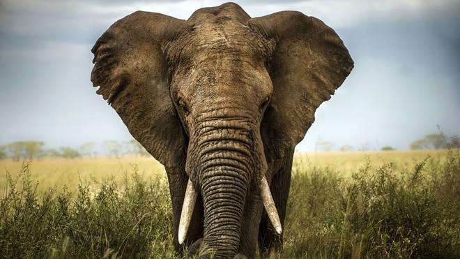 Loài voi gần như không bao giờ mắc ung thư và câu trả lời đến từ gene zombie - ảnh 2