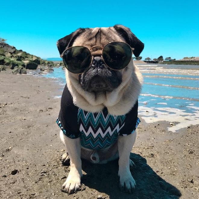 Nhìn cách chó Pug mặt xệ sành điệu hưởng thụ mùa hè, chỉ muốn ôm phản, lao ra biển - Ảnh 7.