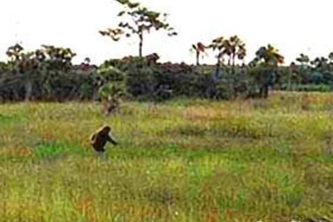 Sinh vật bí ẩn trong lịch sử nước Mỹ: Skunk Ape với cơ thể giống khỉ đột và có mùi hôi như chồn - ảnh 1