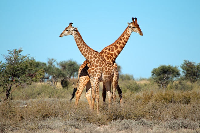 Đố bạn: Tại sao cổ của hươu cao cổ lại dài? Lý do không giống như bạn nghĩ đâu! - ảnh 2