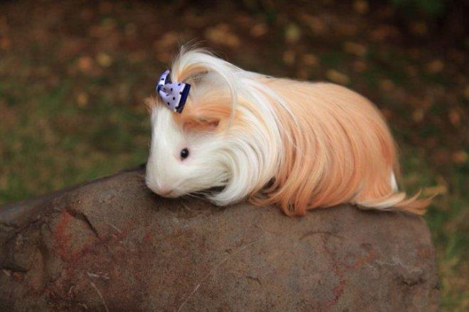 Ngắm 10 bé chuột lang sở hữu mái tóc mượt mà như quảng cáo dầu gội - Ảnh 7.