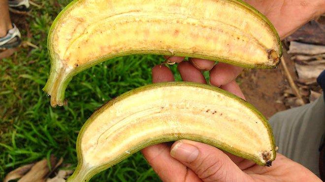 Đây là những trái chuối sẽ cứu mạng hàng trăm ngàn trẻ em trên thế giới - Nó có gì đặc biệt? - Ảnh 1.