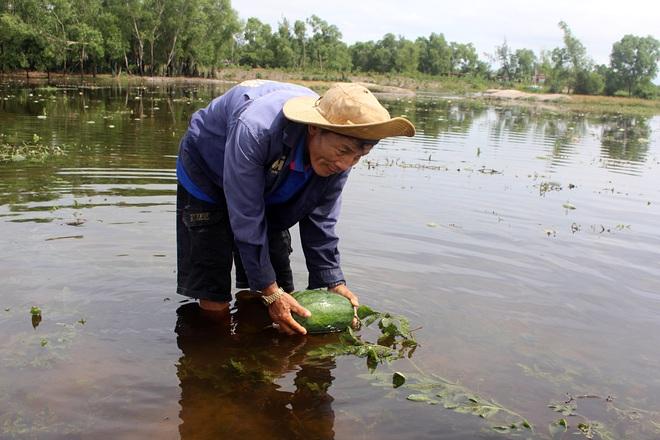 Trắng tay sau cơn bão số 4, hàng trăm nông dân ở Quảng Trị đổ dưa hấu cho gà vịt ăn - Ảnh 3.
