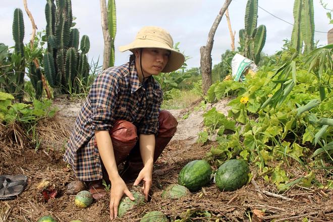 Trắng tay sau cơn bão số 4, hàng trăm nông dân ở Quảng Trị đổ dưa hấu cho gà vịt ăn - Ảnh 6.