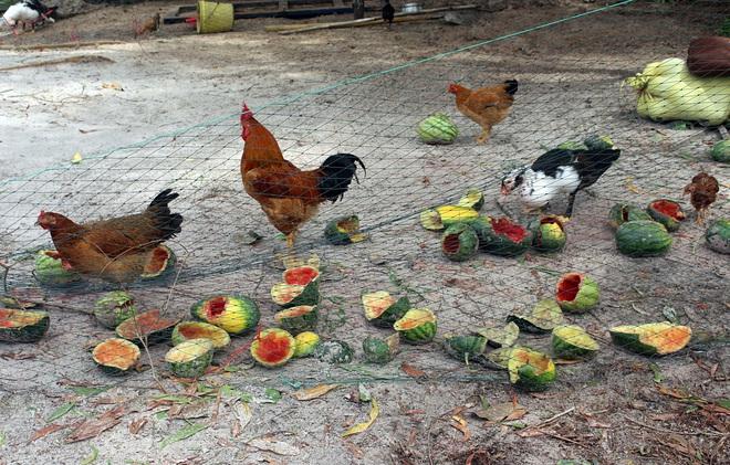 Trắng tay sau cơn bão số 4, hàng trăm nông dân ở Quảng Trị đổ dưa hấu cho gà vịt ăn - Ảnh 11.