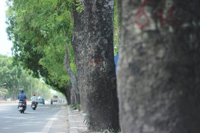 Hà Nội: Nhìn lại 1.300 cây xanh trên đường Phạm Văn Đồng sẽ bị chặt hạ trong 3 tháng tới - Ảnh 6.