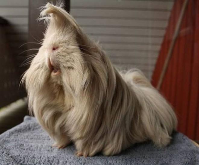 Ngắm 10 bé chuột lang sở hữu mái tóc mượt mà như quảng cáo dầu gội - Ảnh 17.