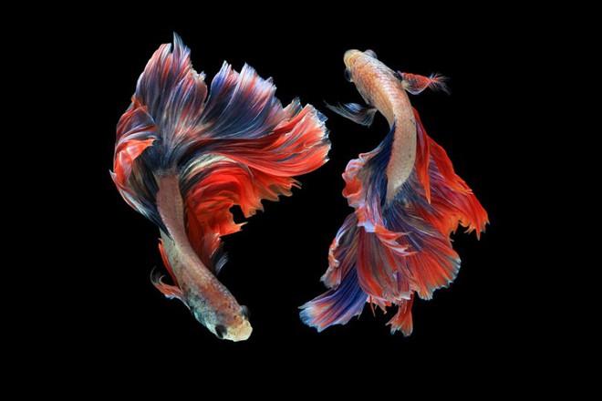 Những chú cá nhiều lần gắn liền với hình ảnh iPhone nhưng chẳng ai biết vì sao - Ảnh 3.