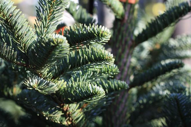 Nhiều người vô tư trồng cây thông Noel trong nhà mà không biết đến hậu quả này - ảnh 2