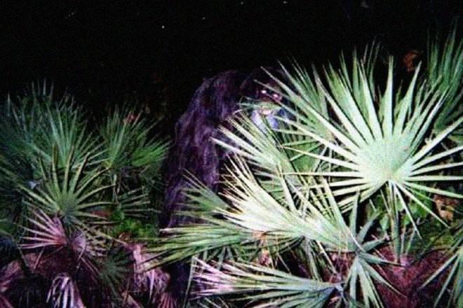 Sinh vật bí ẩn trong lịch sử nước Mỹ: Skunk Ape với cơ thể giống khỉ đột và có mùi hôi như chồn - ảnh 2