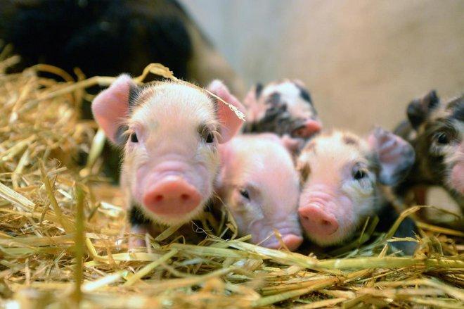 Không chỉ để làm thịt, loài lợn còn một mục đích cao cả hơn rất nhiều sau đột phá khoa học này - Ảnh 1.