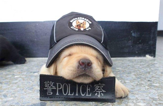 Nối tiếp nghiệp bố, 5 chú chó nhỏ còn ngái ngủ nhưng đã tham gia lực lượng cảnh sát - Ảnh 4.