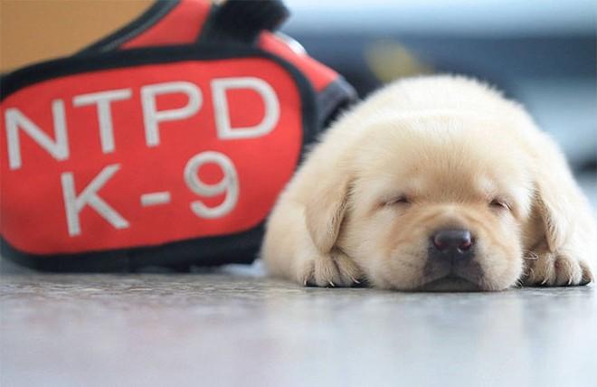 Nối tiếp nghiệp bố, 5 chú chó nhỏ còn ngái ngủ nhưng đã tham gia lực lượng cảnh sát - Ảnh 1.