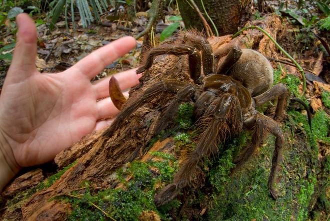 Cận cảnh loài nhện lớn nhất thế giới - có thể xơi tái chuột trong chớp mắt - Ảnh 3.