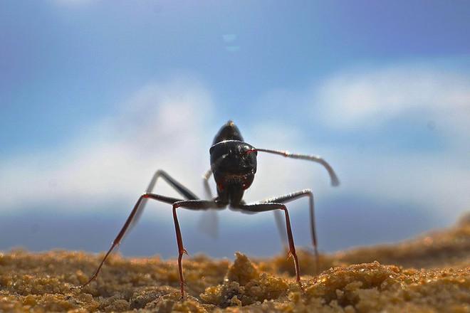 Đây là loài kiến kỳ lạ nhất sa mạc: Giải được cả toán lượng giác nhưng... quên luôn quê hương nếu thấy đồ ngon - ảnh 1