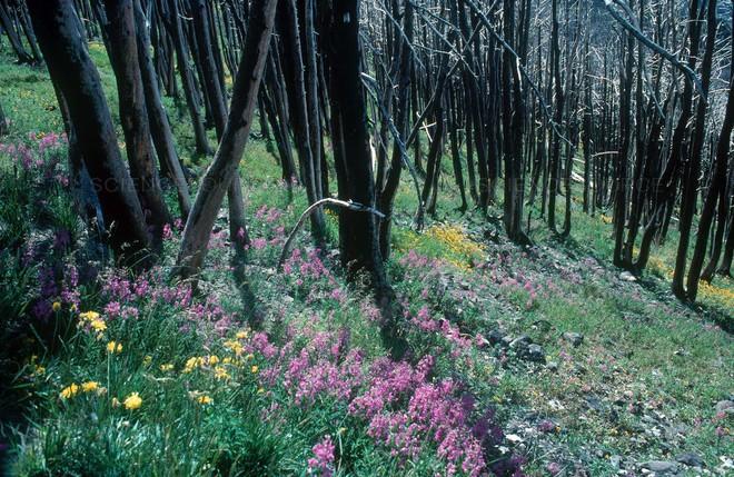 Là thảm họa với con người, nhưng thế giới tự nhiên lại rất thích cháy rừng - ảnh 5