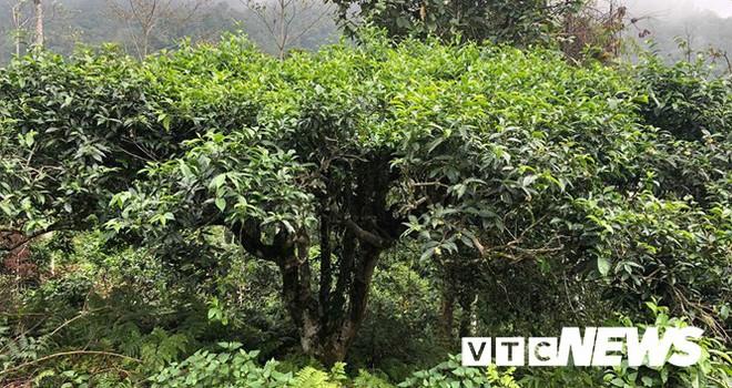 Choáng ngợp giữa khu rừng báu vật chè hoang dã ngàn năm tuổi ở Tây Côn Lĩnh - Ảnh 1.