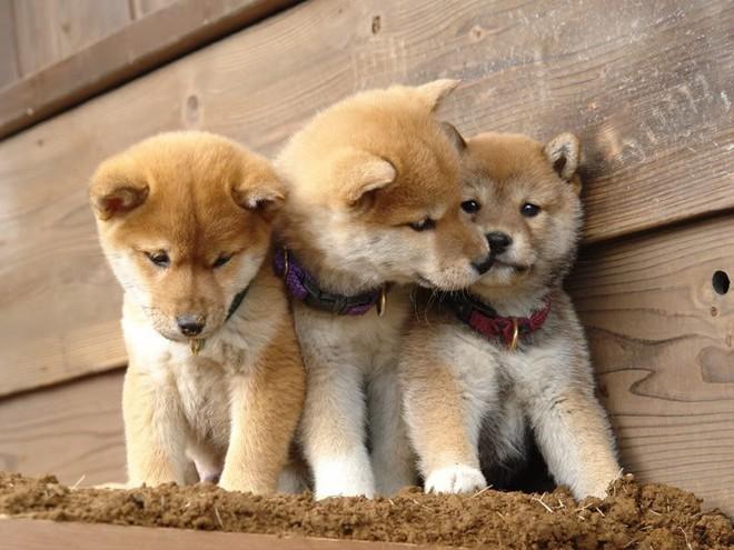 Năm Mậu Tuất và 5 câu chuyện cảm động về loài chó của điện ảnh Nhật Bản - ảnh 2