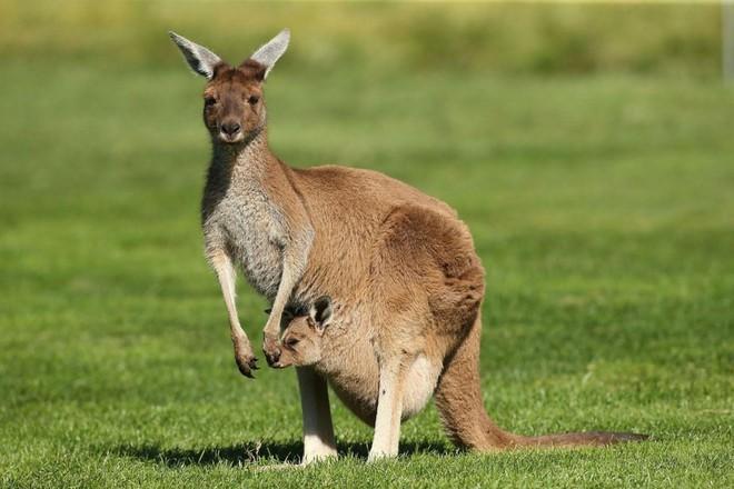 Nước Úc và châu Úc không phải là một và thủ đô của nước này không phải Sydney! - Ảnh 3.