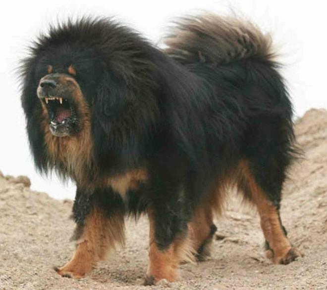 Bi kịch của Ngao Tây Tạng - từ thần khuyển triệu đô thành những con thú bị ruồng bỏ - Ảnh 2.