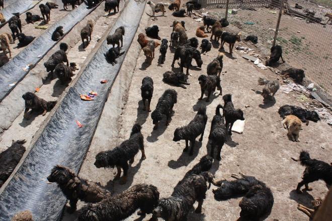 Bi kịch của Ngao Tây Tạng - từ thần khuyển triệu đô thành những con thú bị ruồng bỏ - Ảnh 7.