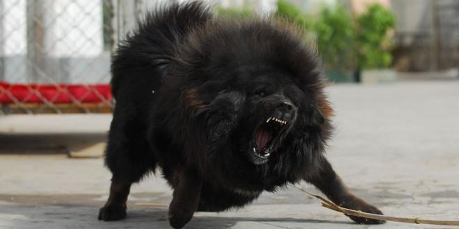 Bi kịch của Ngao Tây Tạng - từ thần khuyển triệu đô thành những con thú bị ruồng bỏ - Ảnh 1.