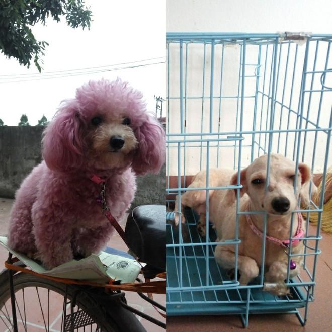 Bí mật mới được bật mí: Bên trong mỗi con poodle là 1 con chó phốc - Ảnh 3.