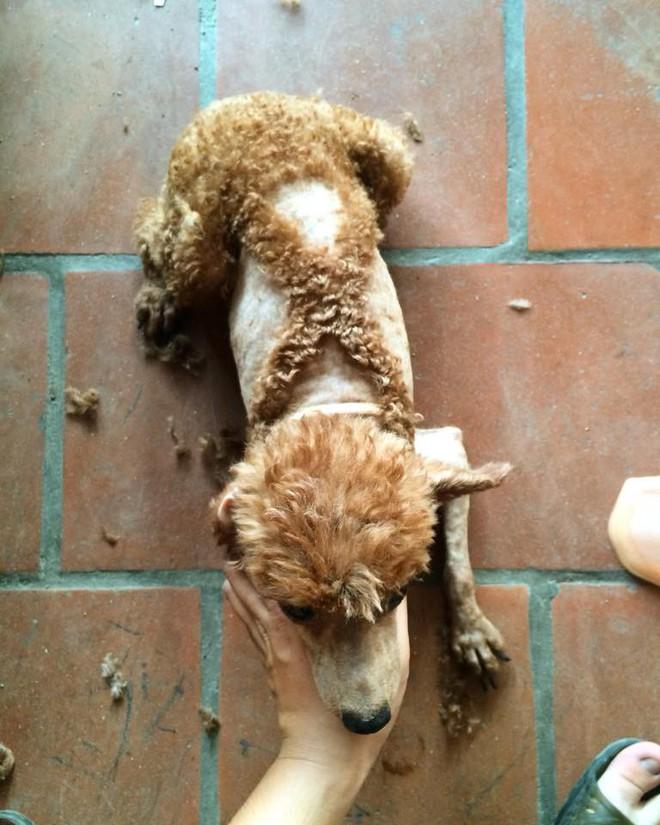 Bí mật mới được bật mí: Bên trong mỗi con poodle là 1 con chó phốc - Ảnh 2.