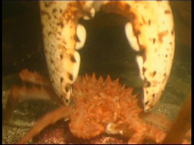 Đây là cuộc đời đầy trái ngang của loài hoàng đế biển Alaska - ảnh 9